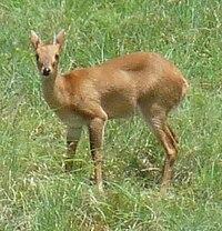 Four-horned Antelope.JPG