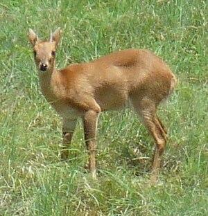 Four-horned antelope - Male four-horned antelope in the Nilgiri Biosphere Reserve (Tamil Nadu, India)