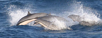 Dolphins are known for their intelligence and travel in groups Frazer's dolphin group.jpg