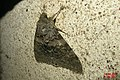 French red underwing (NH266) (37930267206).jpg