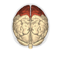 Frontal lobe - superior view2.png