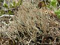 Frosted Cladonia (3817467481).jpg