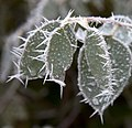 Frosted Leaves 3 (5238147870).jpg
