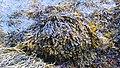 Fucus vesiculosus kelp.jpg