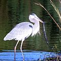 GB Heron with Amphiuma (23810369224).jpg