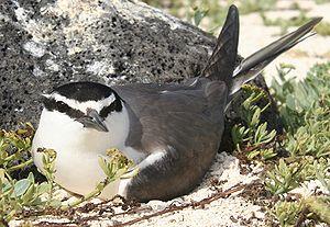 Spectacled tern - Image: GRAT nest