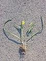Gagea pratensis subsp. pratensis sl10.jpg