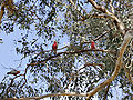 Galahs in eucalyptus tree.jpg