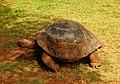 Galapagos Tortoise (4565235476).jpg
