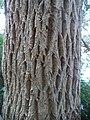 Galpinia transvaalica bark - Kirstenbosch Botanical garden - 4.jpg