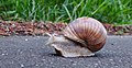 Garden snail moving down the Vennbahn in disputed territory (DSCF5879).jpg