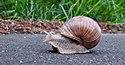 Garden snail moving down the Vennbahn in disputed territory (DSCF5879).jpg