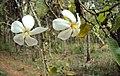 Gardenia gummifera 13.JPG
