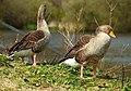 Geese, Kiltonga, Newtownards (2) - geograph.org.uk - 773472.jpg