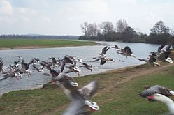 Geese flying Oxford 20050326.jpg