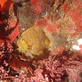 Geitodoris heathi in tide pools.jpg