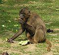 Gelada Baboon female.jpg