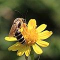 Gelbbindige Furchenbiene Halictus scabiosae 4954.jpg