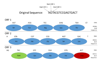 Gene prediction - This picture shows how Open Reading Frames (ORFs) can be used for gene prediction. Gene prediction is the process of determining where a coding gene might be in a genomic sequence. Functional proteins must begin with a Start codon (where DNA transcription begins), and end with a Stop codon (where transcription ends). By looking at where those codons might fall in a DNA sequence, one can see where a functional protein might be located. This is important in gene prediction because it can reveal where coding genes are in an entire genomic sequence. In this example, a functional protein can be discovered using ORF3 because it begins with a Start codon, has multiple amino acids, and then ends with a Stop codon, all within the same reading frame.