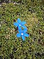 Gentiana brachyphylla - Salix serpyllifolia.JPG