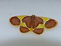 Geometrid Moth (Plutodes cyclaria) (15702010455).jpg