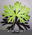 Geranium columbinum sl16.jpg
