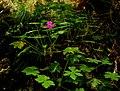 Geranium macrorrhizum IMG 6630^.jpg