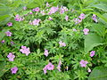 Geranium yesoense var. nipponicum in Mount Haku 2002-08-10.jpg