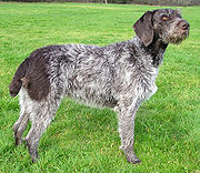The German Wirehaired Pointer's coat demonstrates a rough texture.