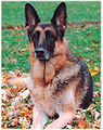 German Shepherd Dog black and red.jpg
