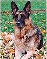 German Shepherd Dog black and red.jpg