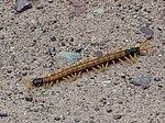 Giant Desert Centipede 2018-07-28 10-47-17 (43741143431).jpg