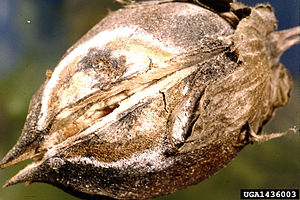 Gibberella fujikuroi - Gibberella fujikuroi