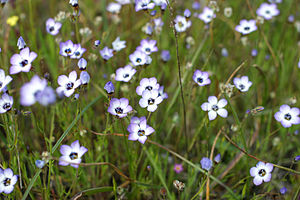 McLaughlin Natural Reserve - Gilia tricolor in McLaughlin Natural Reserve