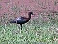 Glossy Ibis (Plegadis falcinellus) at Bharatpur I IMG 5376.jpg