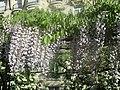 Glycine blanche à Paris.jpg