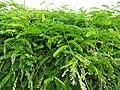 Glycyrrhiza glabra-2-Eco park-kolkata-India.jpg