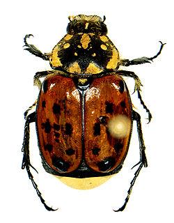 <i>Gnorimella</i> Genus of beetles
