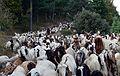 Goats on Road.jpg