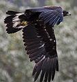 Golden eagle (13296985965).jpg