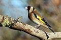 Goldfinch (Carduelis carduelis) adult.jpg
