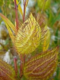 G. fruticosus, ballongbuske