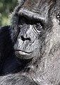 Gorilla (15375819139).jpg