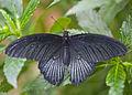 Gran mormón (Papilio memnon), Mariposario de Icod de los Vinos, Tenerife, España, 2012-12-13, DD 01.jpg