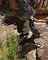 Grand Canyon National Park California Condor 87 3515 (5735141441).jpg