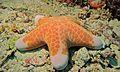 Granulated Seastar (Choriaster granulatus) (6058675201).jpg