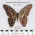 GraphiumAryclesAryclesMUpUnAC1.jpg