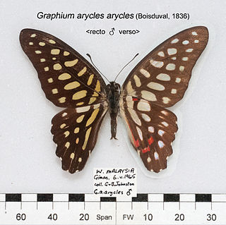 <i>Graphium arycles</i> species of insect