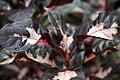 Graptophyllum pictum 10zz.jpg