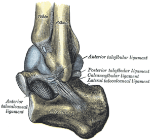Inferior tibiofibular joint - Capsule of left talocrural articulation (distended). Lateral aspect.